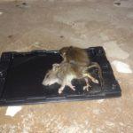 Клеевая ловушка для мышей.